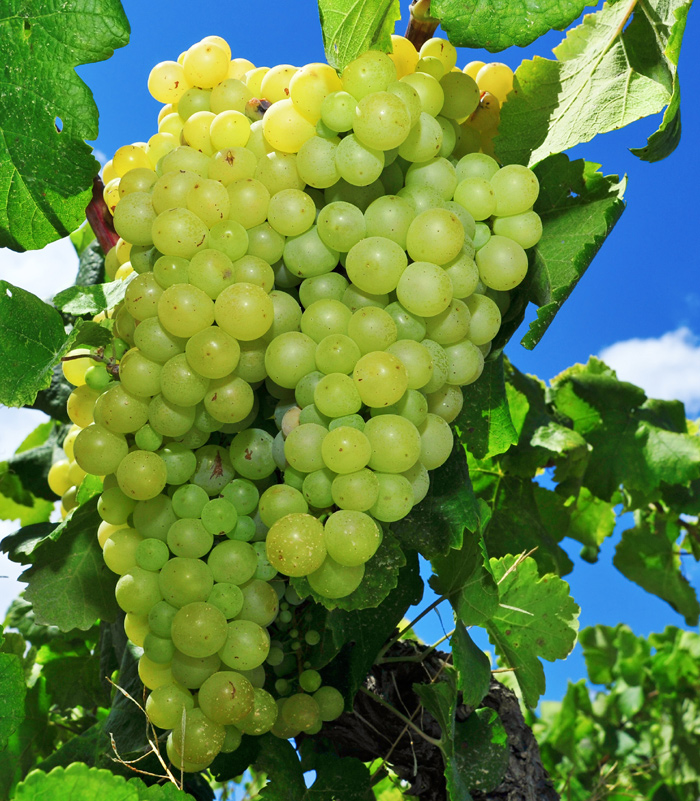 White Grape Varieties